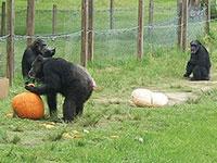chimpoween